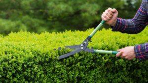 Prune your shrubs